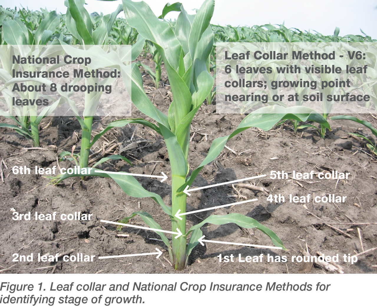 Leaf collar and National Crop Insurance Methods