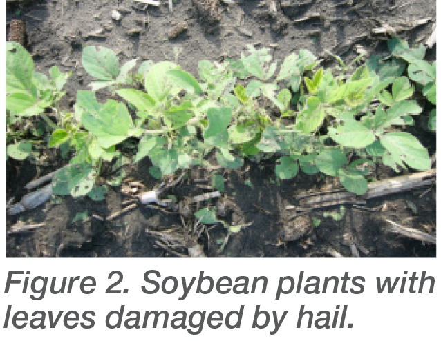 Figure 2. Soybean plants with leaves damaged by hail.