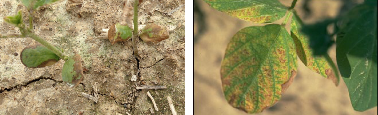 Figure 4. Interveinal chlorosis (yellowing) and necrosis (browning) of older soybean leaf tissue may result from the use of triazine herbicides such as metribuzin or the carryover of herbicide residues of atrazine or simazine. Photos courtesy of Purdue University.